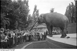 Im Leipziger Zoo. Der Elefant, fern und nah (c) Bundesarchiv Bild-KF03058 / Fotograf: Manfred Beier (1952)